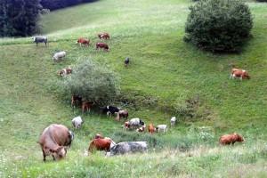 vacche-al-pascolo